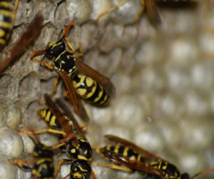 Wasp Nest Removal Saltcoats